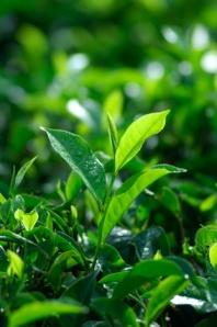 Pengolahan teh dan pengelompokan